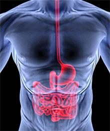 Пищеварительный тракт и его основные функции